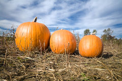 Three pumpkins in patch. Three pumpkins in farm patch with blue sky in background Royalty Free Stock Images