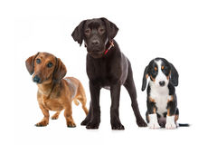 Three puppies. Isolated on the white background Stock Images