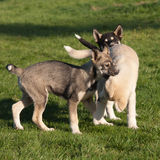 Three puppies of alaskan husky Royalty Free Stock Photography