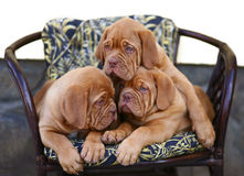 Three puppies in armchair. Royalty Free Stock Image