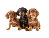 Three puppies of badger-dog. On white Royalty Free Stock Image