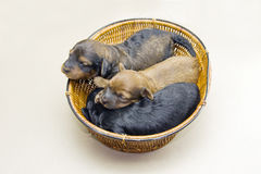 Three puppies basket Royalty Free Stock Photo