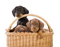 Three puppies in basket Stock Photos