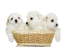 Three puppies in a basket. Stock Image
