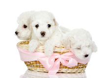 Three puppies in a basket. isolated on white. Three puppies in a basket. looking at camera, isolated on white Stock Photography