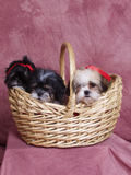 Three Puppies in a Basket Royalty Free Stock Images