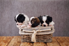 Three puppies in a basket Stock Photos