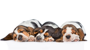 Three puppies  basset hound sleeping side by side. isolated Royalty Free Stock Photo