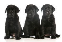 Three puppies Stock Photos