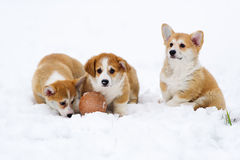 Three puppies of breed  Welsh Corgi play in snow Royalty Free Stock Photos