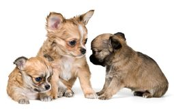 Three puppies of the chihuahua Stock Image