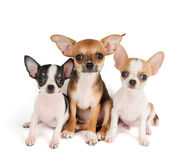 Three puppies of Chihuahua Stock Photos