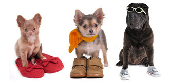 Three puppies with different footwear isolated Royalty Free Stock Images
