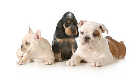 Three puppies Stock Photography