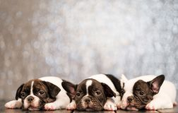 Three puppies of the French bulldog lies and sleeps on the floor of the boards. stock photography