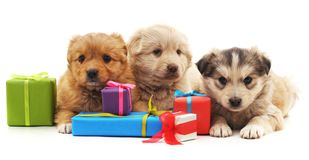 Three puppies with gifts. Three puppies with gifts on a white background royalty free stock photo