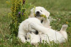 Three puppies of golden retriever playing Royalty Free Stock Images