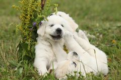 Three puppies of golden retriever playing Stock Image