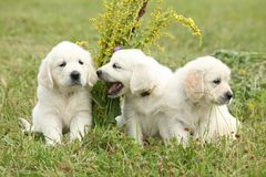 Three puppies of golden retriever playing Royalty Free Stock Photos