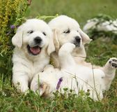 Three puppies of golden retriever playing Royalty Free Stock Image