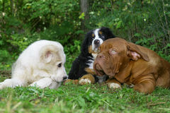 Three puppies on a grass. Stock Photo