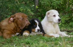 Three puppies on a greene grass. Royalty Free Stock Images