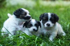 Free Three Puppies In The Grass Royalty Free Stock Photo - 122165005