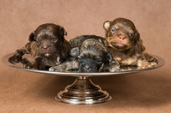 Three puppies of a lap-dog Royalty Free Stock Photo