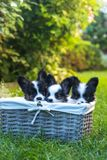 Three puppies look out of the basket Stock Photography
