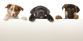Three puppies Stock Photo