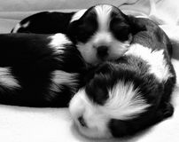 Three Puppies. A monochrome picture of three cute cavalier  King Charles puppies cuddling up and snoozing Stock Image