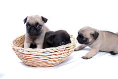 Three puppies Mopsa play in a wattled basket Royalty Free Stock Images