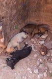 Three puppies napping in ancient city Polonnaruwa, Sri Lanka Royalty Free Stock Photo