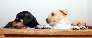 Three Puppies Peeking Stock Images