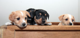Three Puppies Peeking Royalty Free Stock Photo