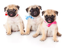 Three puppies of pug Stock Images