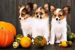 Three puppies with pumpkin Stock Photo