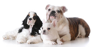 Three puppies Stock Image