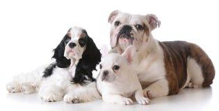 Three puppies Stock Image