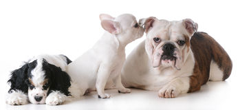 Three puppies Royalty Free Stock Photos
