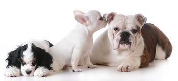 Three puppies Royalty Free Stock Photos