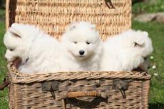Three puppies of samoyed Stock Image