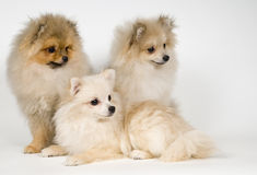 Three puppies of the spitz-dog Royalty Free Stock Image