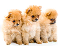 Three puppies of the spitz-dog Royalty Free Stock Images
