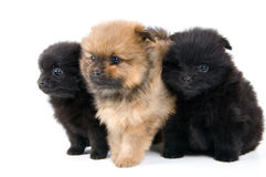 Three puppies of the spitz-dog in studio. On a neutral background Royalty Free Stock Photos