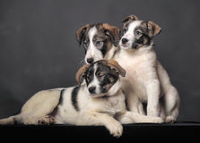 Three puppies in studio Royalty Free Stock Photo