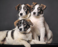 Three puppies in studio Stock Photos
