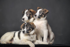 Three puppies in studio Royalty Free Stock Photography