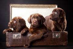 Three puppies in vintage suitcase Stock Photos