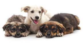 Three puppies. Three puppies on a white background royalty free stock images